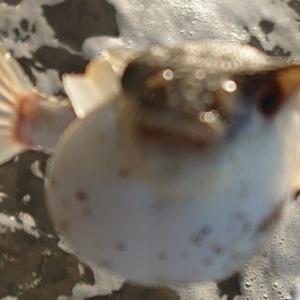 【豊浜】ヒラメ会食?フグ会食???