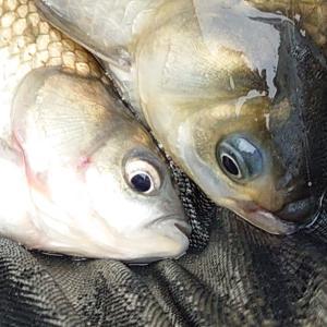 お魚のデリケートゾーンにカクシン???IN【ひだ池】