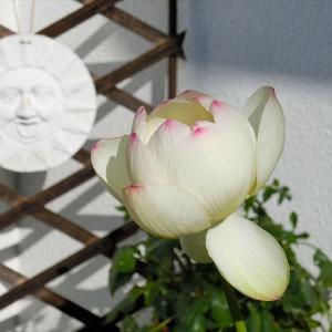 タネから育てたハス 開花4日目