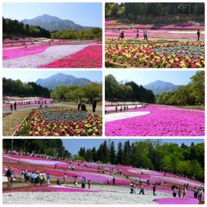 羊山公園の40万株の芝桜