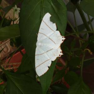 シシトウの葉に白い紙っぺら?