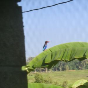 バリ島 我が家に幸せの青い鳥がやって来た!