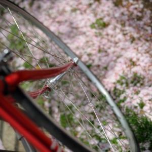 今年の桜は、もう終わりですね・・。【チネリ ガゼッタ 画像】
