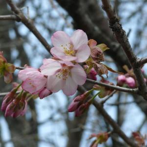 桜の開花とマヤ検が花咲線を検測