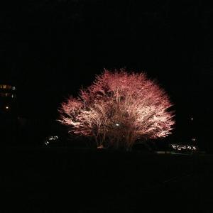 夜桜ライトアップと花咲線東根室駅の桜