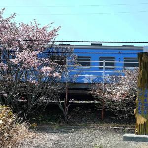 流氷物語ラッピングと花咲線東根室駅の桜