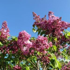 ライラック咲く花咲線最東端の踏切と花咲線応援の輪は中標津へ