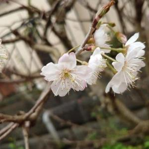 茜色のお花畑 7(ハナ)