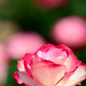 春バラです 7