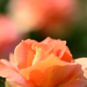 春バラです 8