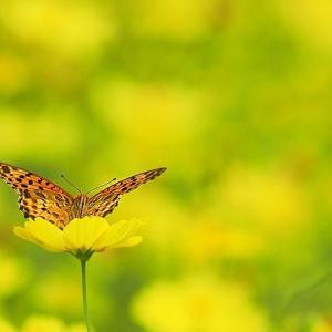 レモンブライト畑にいた蝶たち
