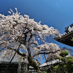 圓明寺の枝垂れ桜