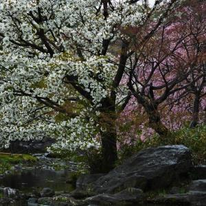 白鳥庭園の桜スナップ ②