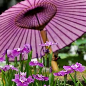 和傘と菖蒲