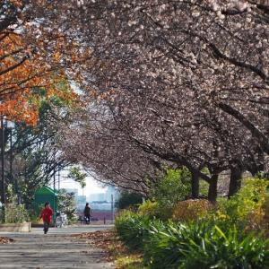 庄内緑地の寒桜