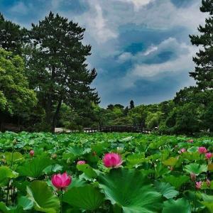 鶴舞公園の蓮 ②