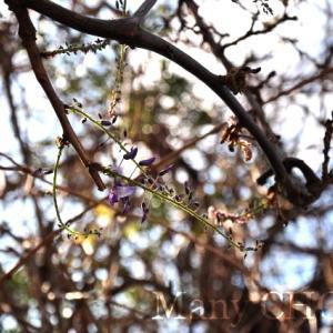 鎌倉の藤見頃レポート・2019年4月18日・鶴岡八幡宮と別願寺と牡丹園