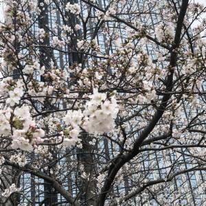 桜は咲きはじめました。。。