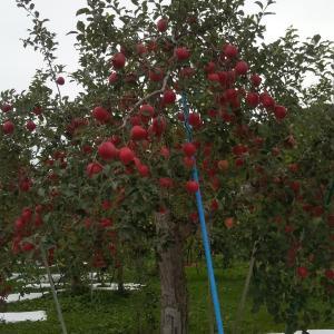 青森のリンゴ農園。