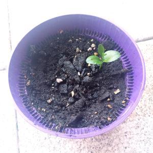 レモンの芽と今年の夏とか