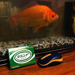 金魚回復 ところでイソジンやハイター?