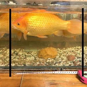 金魚の身体計測