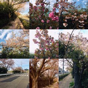 【散る桜を見に…】今しか出来ないこと※宴会はしてないよ