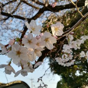 春ですなぁ。