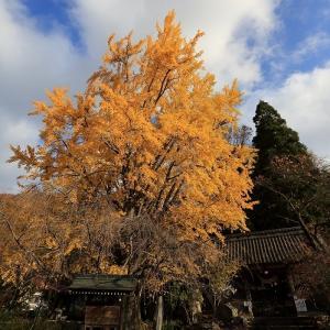 浄光寺のイチョウ