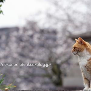 猫とお花見