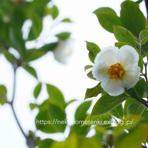 梅雨時の白い花