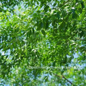 センダンの木の下で。