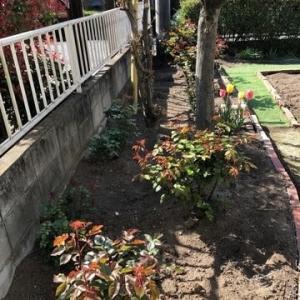 菜園準備と薔薇づくり