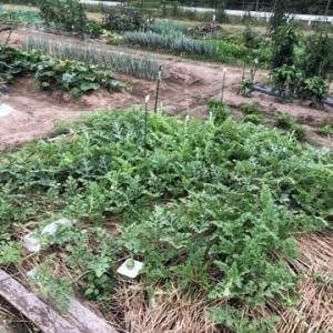 梅雨の合間はスイカ農家に変身。