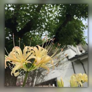 彼岸花は1日で急成長するんです!私も今年は彼岸花並みに急成長したかも(笑)