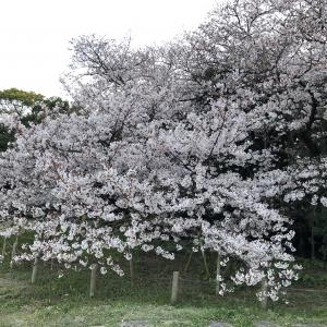 桜もきれいに咲きました(^^)