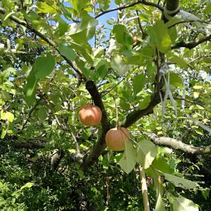 林檎と葡萄と台風と