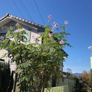 妻の植えた皇帝ダリアが今年も綺麗に咲きました