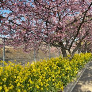 三浦海岸の河津桜と、預かりっ子