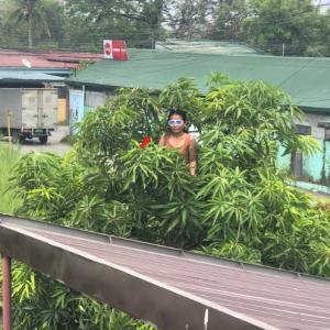 マンゴーの木の上で