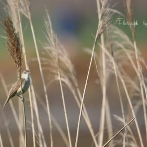Wild birds of the four seasons -オオヨシキリー