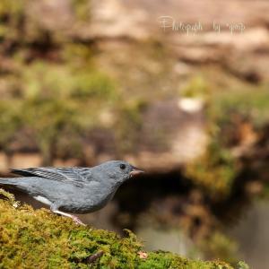 Wild birds of the four seasons -クロジー