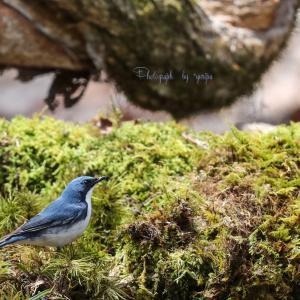 Wild birds of the four seasons -コルリー