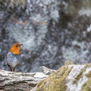 Wild birds of the four seasons -コマドリー
