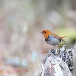 野鳥撮りに行こう倶楽部 GW 2019 №1 一年越しのコマドリ