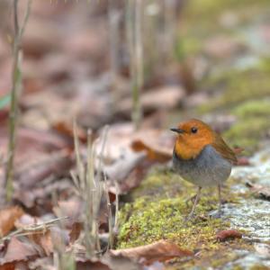 野鳥撮りに行こう倶楽部 GW 2019 №2 一年越しのコマドリ