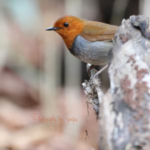 野鳥撮りに行こう倶楽部 GW 2019 №3 一年越しのコマドリ