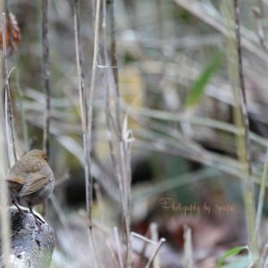 野鳥撮りに行こう倶楽部 GW 2019 №4 一年越しのコマドリ
