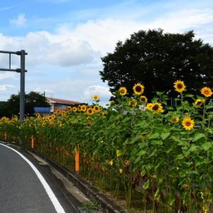 菊池市 七城町・リバーサイドパーク近くのヒマワリ(2019年)