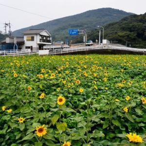 熊本市 西区小島のヒマワリ(2019年)